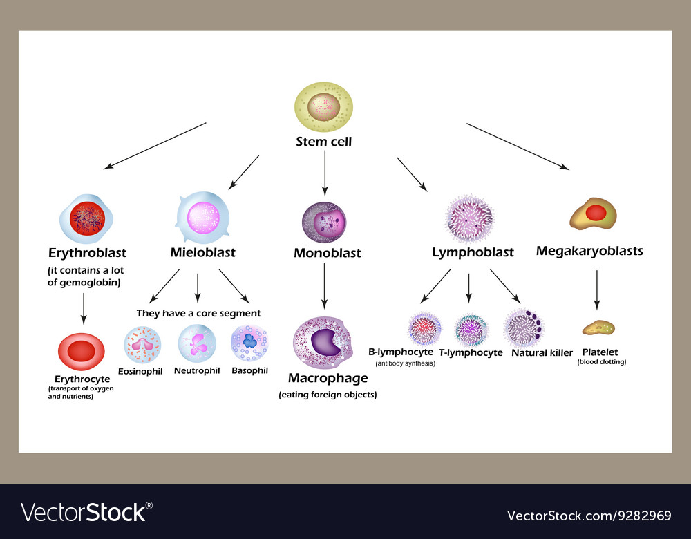 Stem cell the development of red blood cells vector