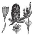 Noble Fir vintage engraving vector image