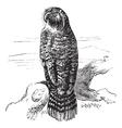 Kakapo vintage engraving vector image