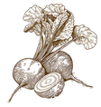 engraving beet vector image
