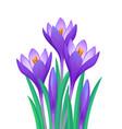 bouquet of crocuses vector image