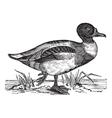 Vintage Shelduck Sketch vector image