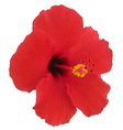 Red hibiscus flower Tropical plant vector image
