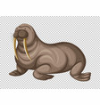 big walrus on transparent background vector image