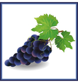 Realistic black grape with green leaves vector image vector image