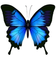 Blue butterfly papilio ulysses vector image