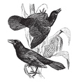 Vintage grackle Sketch vector image