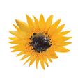 yellow sunflower vector image