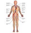 Diagram of circulatory system vector image