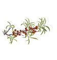 Buckthorn berries and foliage vector image
