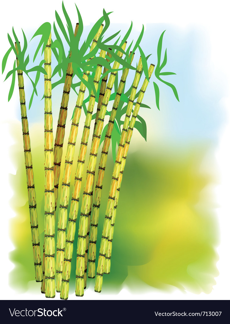 Plant of sugar cane vector