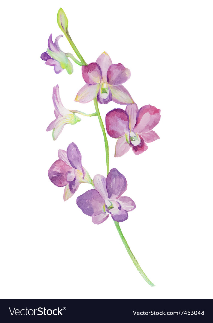 Watercolor of orchid flower isolated vector