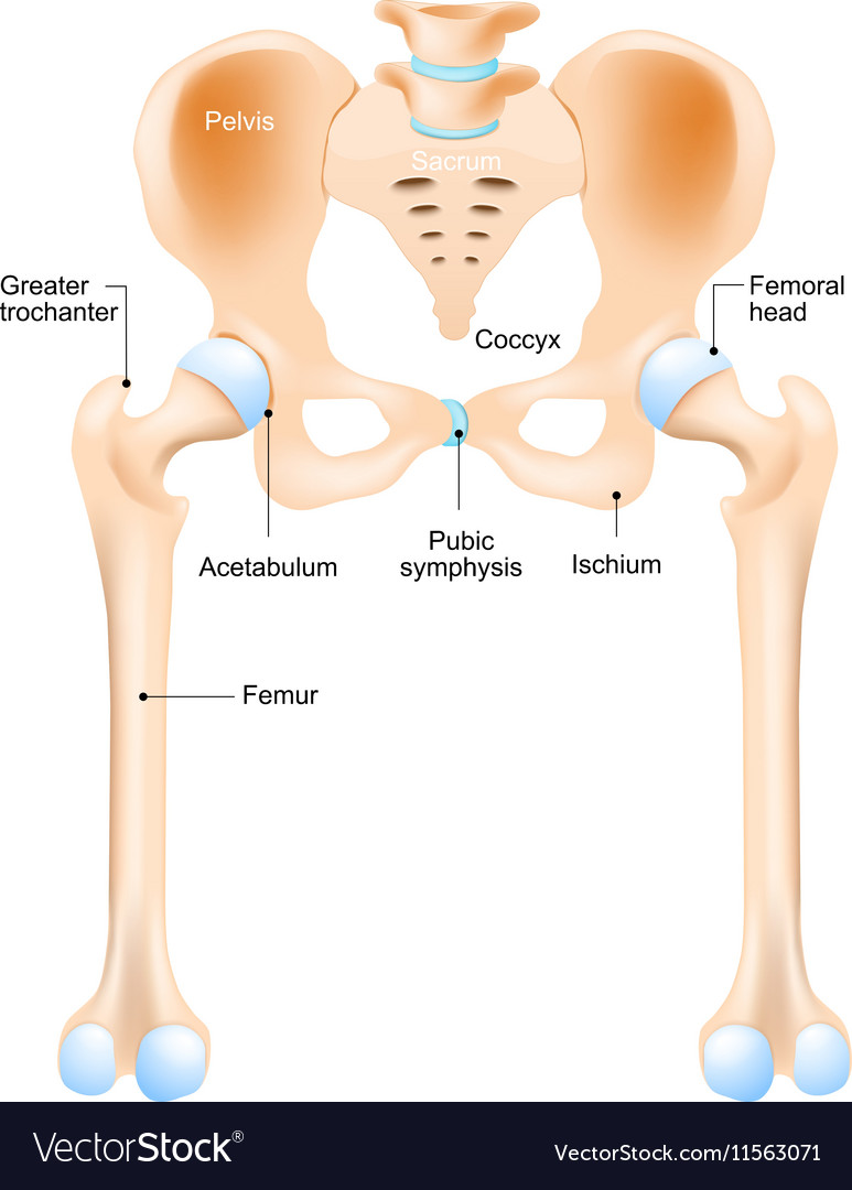 Anatomy of the hip vector
