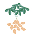 A Peanuts Plant on White Background vector image