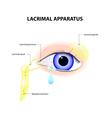 Lacrimal Apparatus vector image