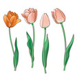 Hand drawn set of side view red pink tulip flower vector image