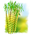 plant of sugar cane vector image vector image
