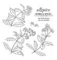allspice set vector image