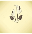 calla lilies vector image