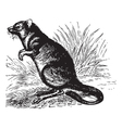 Vintage Potoroo Sketch vector image vector image