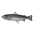 Atlantic salmon sketch vector image