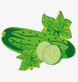 vegetable ripe cucumber vector image