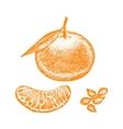 Mandarin Hand Draw Sketch vector image