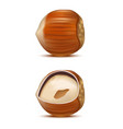 realistic detailed hazelnut nut vector image