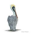 brown pelican vector image