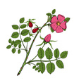 rosehips Stock vector image