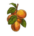 apricots on branch with leaves full color sketch vector image