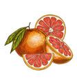 grapefruit half of fruit slice vector image