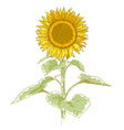 hand-drawing sunflower vector image