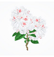 twig white flower rhododendron mountain shrub vector image