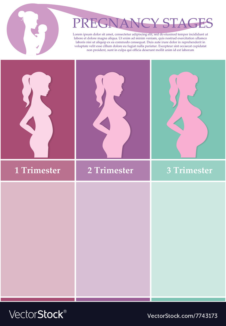 Pregnant woman  first second and third trimester vector