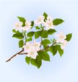 Branch of apple tree with flowers vector image