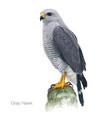 gray hawk vector image