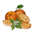 orange fruits halves and pieces with flower f vector image