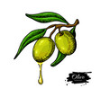 olive branch with a drop of olive oil vector image