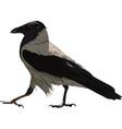 walking black crow vector image