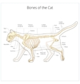 Cat skeleton veterinary vector image
