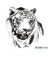 Tiger head hand drawn vector image