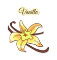 Vanilla Flower And Pods vector image