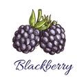 Fresh blackberry fruit sketch for food design vector image