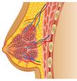 Cartoon of female breast anatomy vector image
