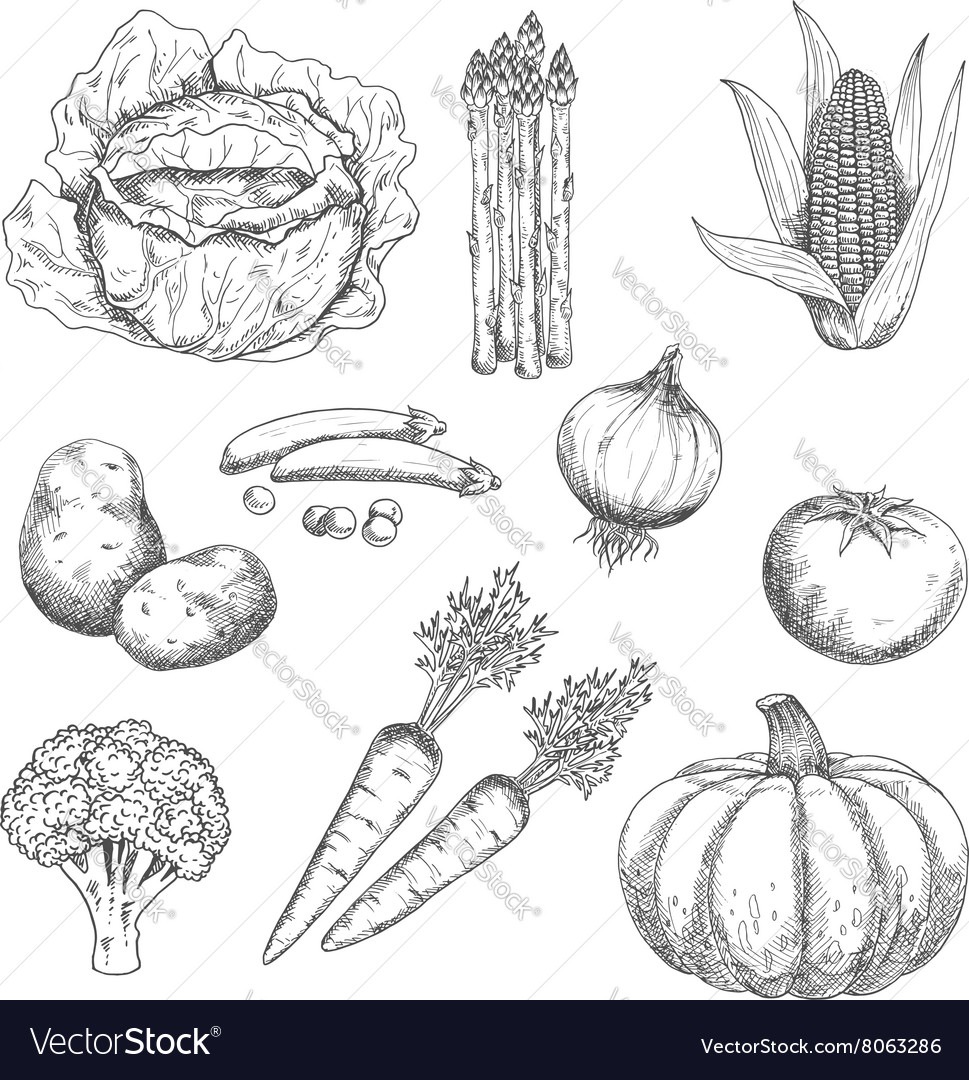 Ripe farm vegetables engraving sketches vector