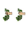 hand grab bunch of hops vector image