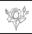 Hand drawn rose with buds vector image