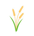 wheat barley spike yellow isolated on white vector image