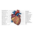 anatomical human heart hand drawn color poster vector image